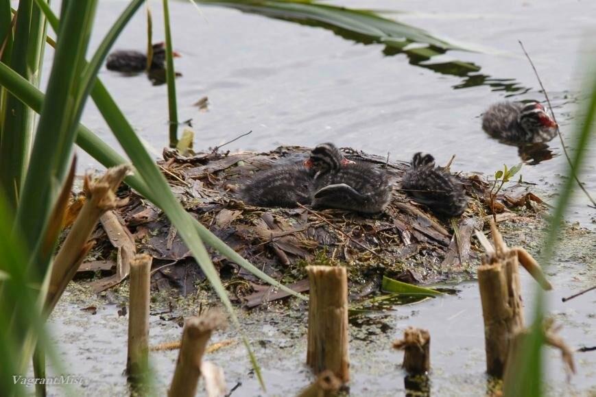 В Царском Селе родились птенцы красношейной поганки, фото-6