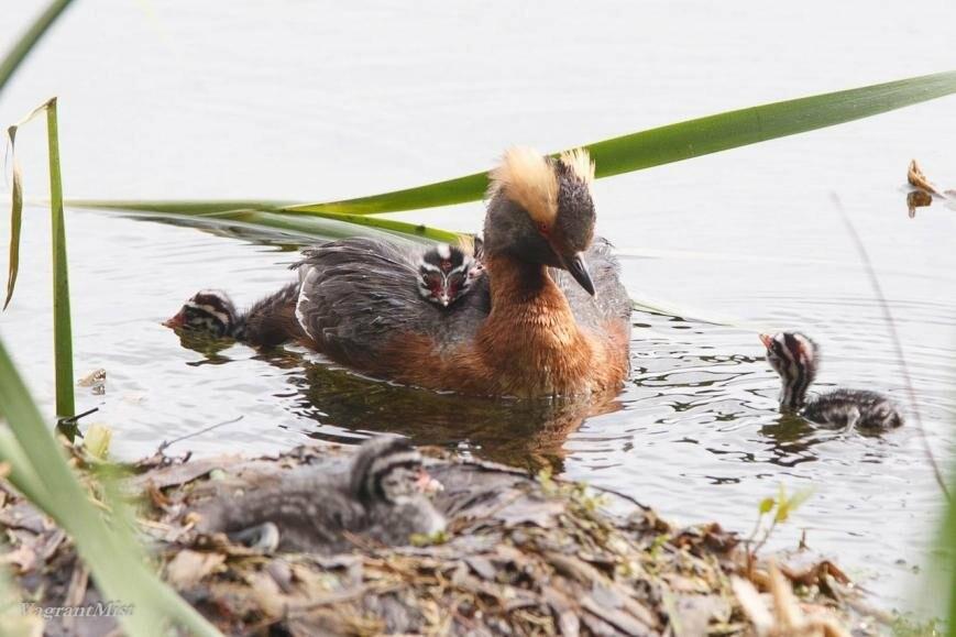 В Царском Селе родились птенцы красношейной поганки, фото-3