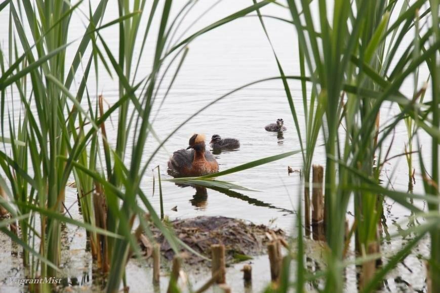 В Царском Селе родились птенцы красношейной поганки, фото-5